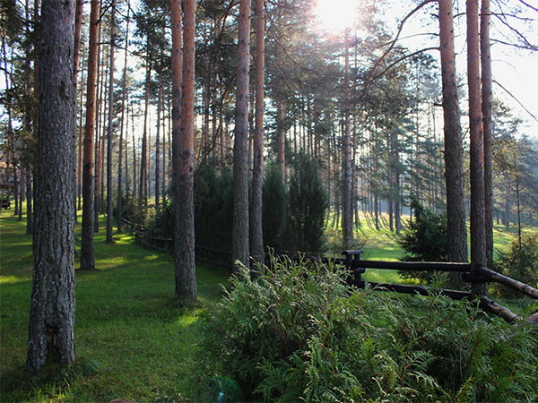 zlatibor-borove-sume